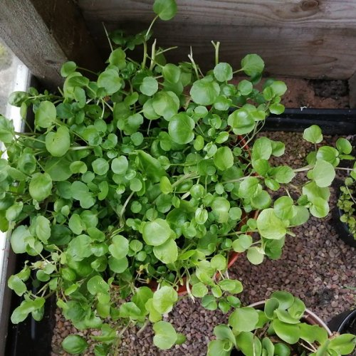 Watercress in a large plant pot, growing in winter in my cold frame.