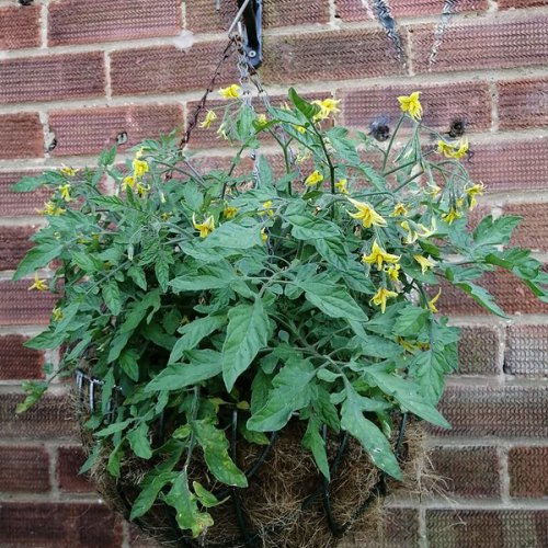 Would a miniature variety in a hanging basket suit you better?