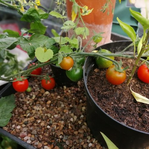 Cherry tomatoes sprawling after I got behind on the training.