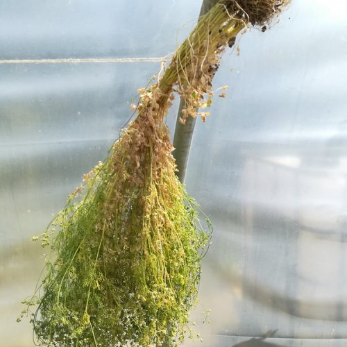 Coriander drying in a polytunnel.