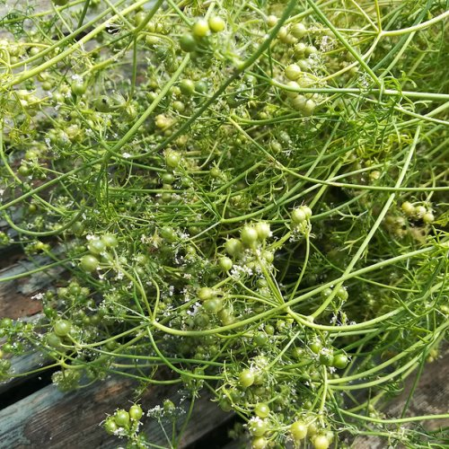 Green coriander seeds.