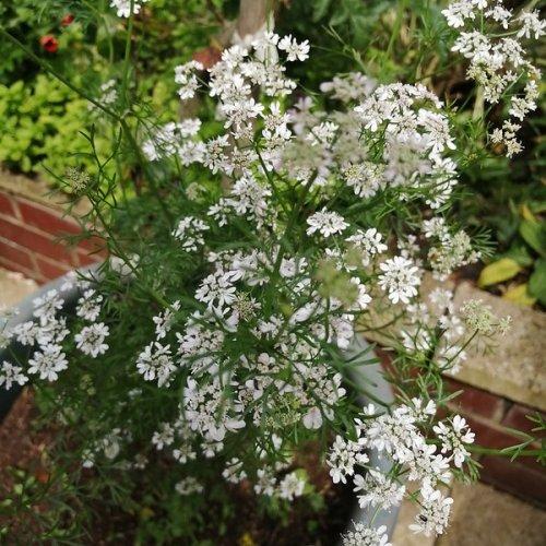 Coriander flowers.