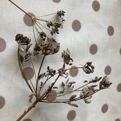Dried fennel heads.