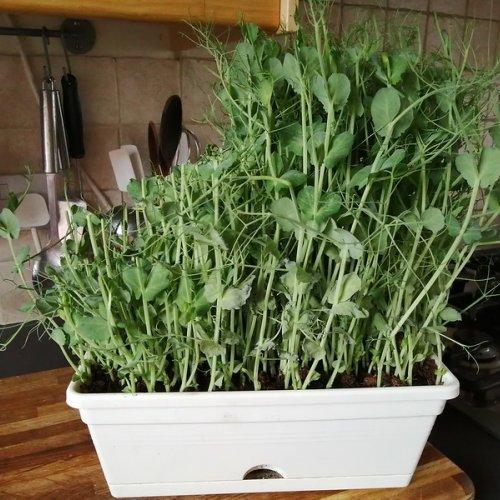A half cut pot of pea shoots.