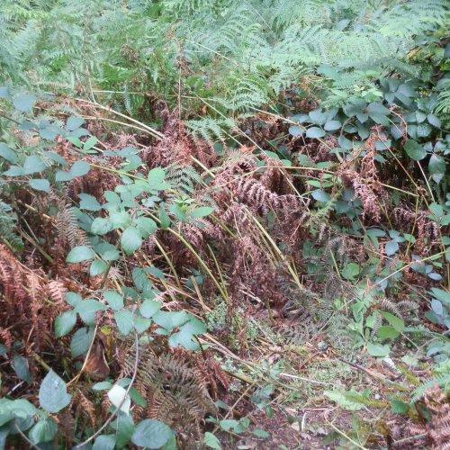 Bracken and bramble — the woodland floor.