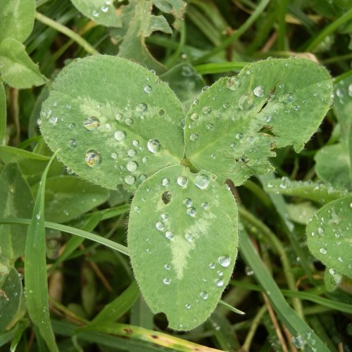 Red clover leaf.