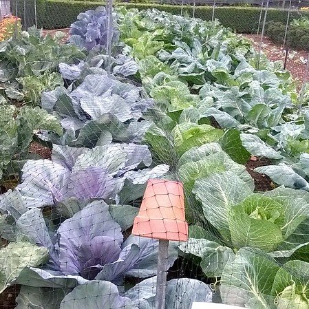 Cabbages, Barnsdale Gardens, Rutland.