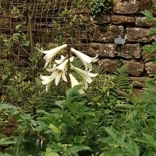 Lily, Felley Priory Garden, Derbyshire.
