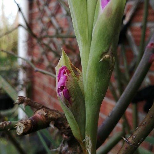 Gladiolus bud.