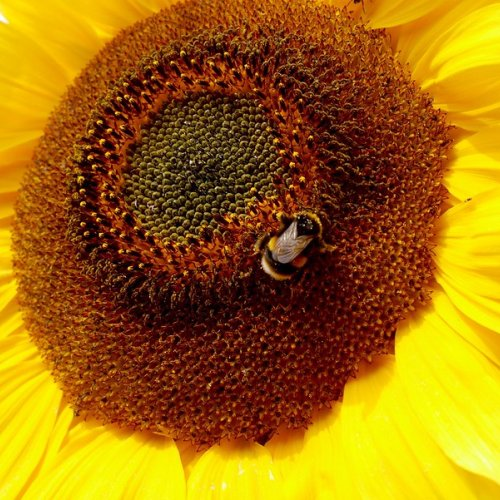 White-tailed bumble bee on a sunflower.