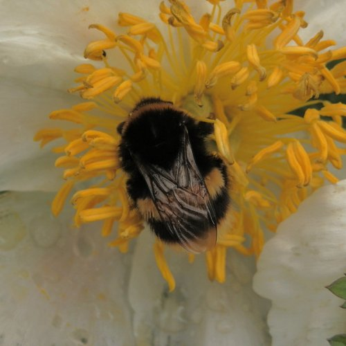 Bumble Bee in an anemone.