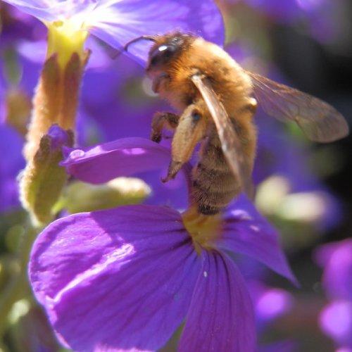 Honey bee on aubretia.