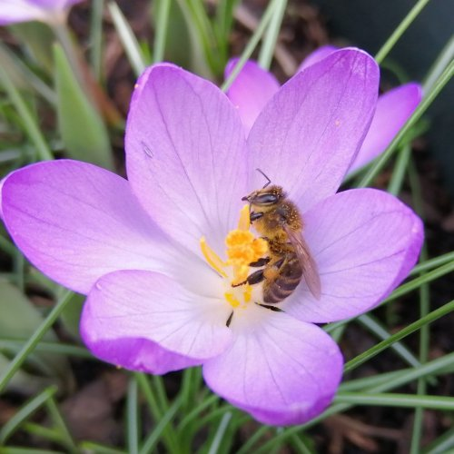 Honey bee in early spring, foraging on a crocus.