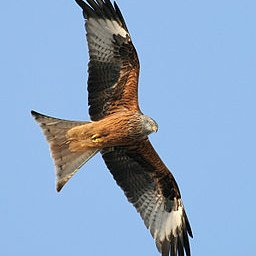 Red Kite, courtesy of Thomas Kraft  (ThKraft) / CC BY-SA (https://creativecommons.org/licenses/by-sa/2.5)