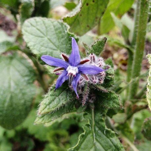 Borage (Star flower)