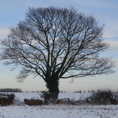 Sycamore tree.