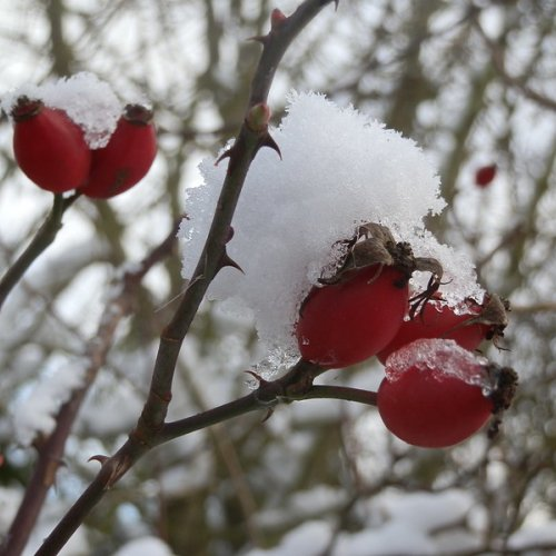 Snowy rosehips.