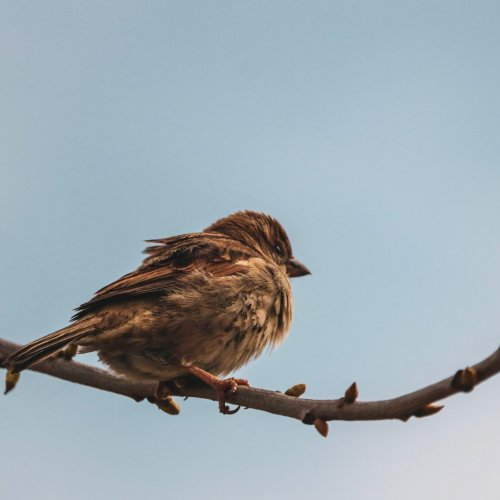 A fluffed up sparrow.  Image courtesy of Unsplash through Rapidweaver.