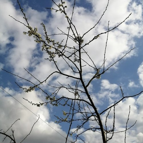Dancing plum blossom against an infinite blue.