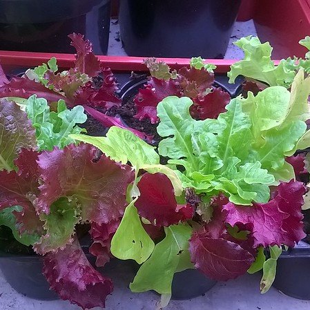 Different coloured lettuces transplanted into containers from a single, supermarket 'living salad' pot.