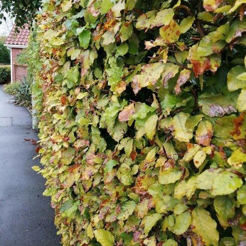 A beech hedge.