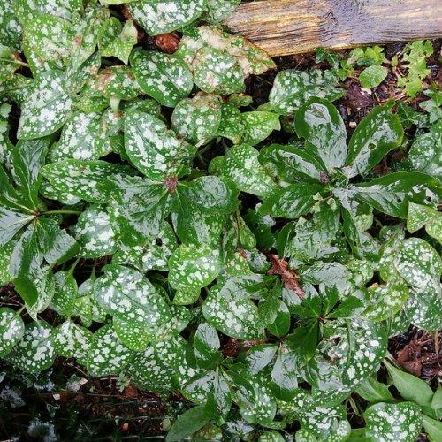 Pulmonaria and hellebore leaves.
