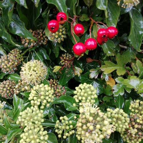 Hawthorn berries and ivy flowers.
