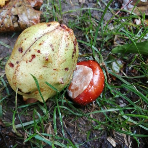 Conkers –horse chestnut – in and out of their seedcase.