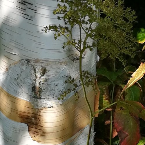 Silver birch: scars and new growth.