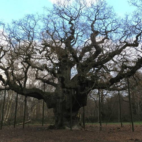 The Major Oak in Sherwood Forest. An old lady with walking sticks reaches for the sky.