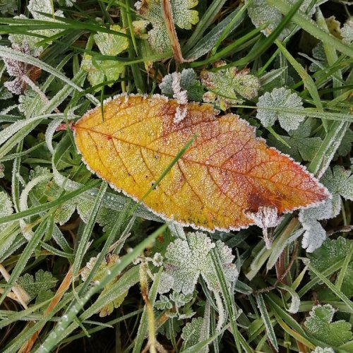 A frosted leaf.