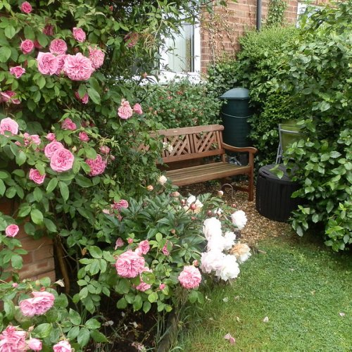 My Secret Garden.  Rose 'Gertrude Jekyll' and peony 'Shirley Temple'.