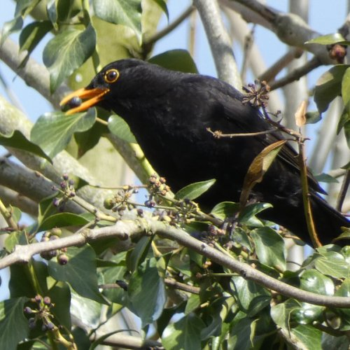 Blackbird eating ivy berries.