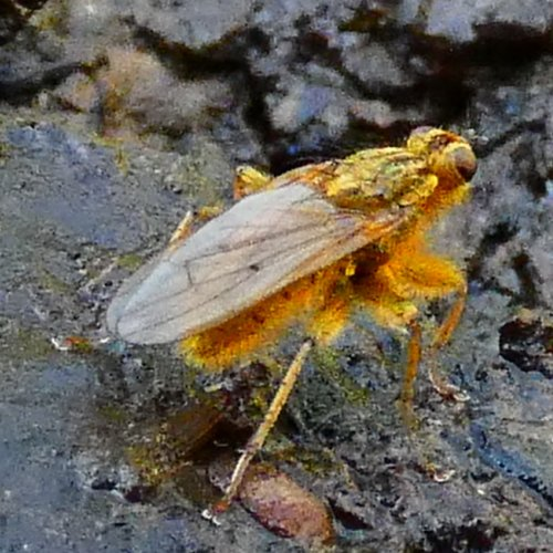 Yellow Dung Fly.
