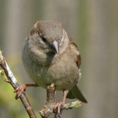 Female Sparrow.