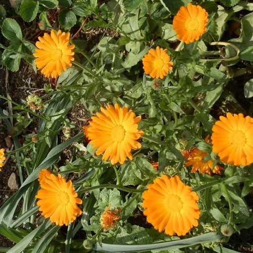 Marigolds.  I don't remember buying these, but every year I strip a few handfuls of the little brown caterpillar-like seeds and fling them around to help their spread.