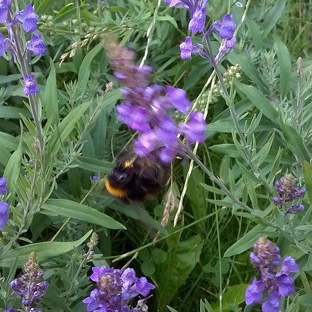 Bumblebees adore Linaria purpurea, or purple toadflax, one of the few flowers that will grow at the foot of my Leylandii.  I used to try and get rid of this lovely flower, but now I let it fill this gap that no-one else seems to want.