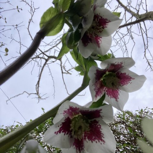 Hellebores need a selfie shot from ground level to show their beauty.  No easy feat with a complaining chest!