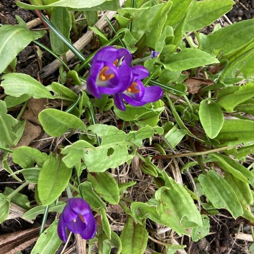 Crocuses among the new sorrel leaves.  How did they get there?