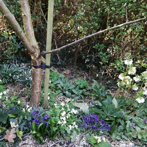 Snowdrops, crocuses and hellebores at the foot of my plum tree.