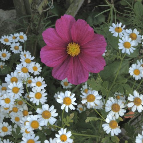 Self-sown feverfew frames a greenhouse-sown cosmos flower.  Lots of 'weeds' have beautiful flowers.