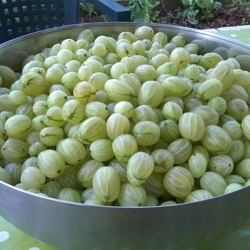 Part of my gooseberry harvest.